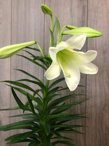 Easter Lily from Ginger's Flowers &Gifts, local Martinsburg florist