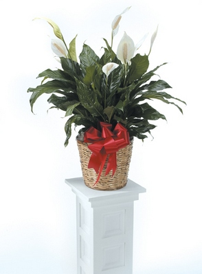 Peace Lily from Ginger's Flowers &Gifts, local Martinsburg florist