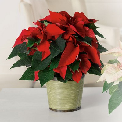 Classic Poinsettia from Ginger's Flowers &Gifts, local Martinsburg florist